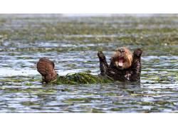 性质,动物,景深,幽默,水,枪口,水獭,佩妮帕尔默,海草,游泳的69205