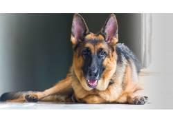 狗,德国牧羊犬,动物,动物的眼睛670266