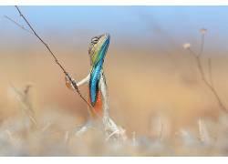 性质,动物,景深,蜥蜴,Anup Deodhar,科692053