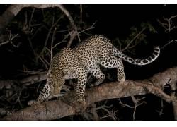 豹,动物,哺乳动物,大猫579697