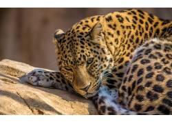 豹,动物园,动物,豹(动物)633497