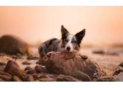 狗,性质,动物,边境牧羊犬605797