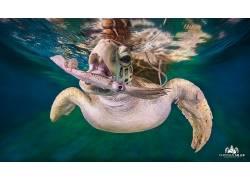 性质,动物,景深,龟,水下,水,海,克里斯蒂安米勒,枪口,游泳的69205