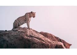 豹,大猫,岩,动物691426
