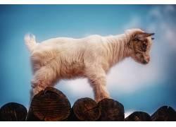 动物,山羊,小动物,哺乳动物421105