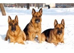 动物,德国牧羊犬,雪,狗604746