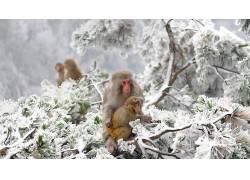 动物,性质,日本,冬季,类人猿,雪,冷474574