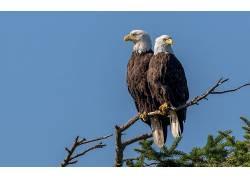 一对,鸟类,温哥华岛,鹰,动物,白头鹰557980