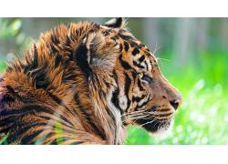 动物,性质,特写,虎480302