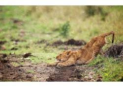 动物,性质,狮子476553