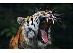 动物,性质,虎,打哈欠476555