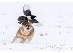 动物,性质,野生动物,鸟类,狼,欧洲喜鹊618640