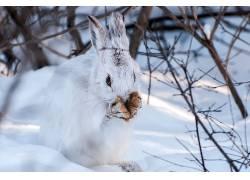 冬季,雪,兔,动物554376