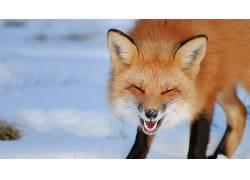动物,摄影,狐狸,雪,闭着眼睛575673