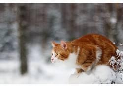 冬季,雪,动物,猫597310