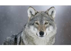 动物,摄影,狼,看着观众575674
