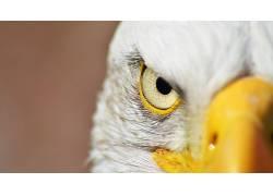 动物,摄影,白头鹰,鹰,看着观众575672