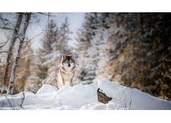 冬季,雪,性质,狼,动物476052