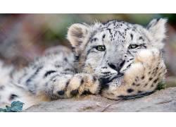动物,摄影,看着观众,豹,猫575678