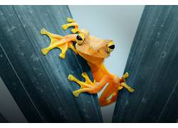 动物,Andri Priyadi,青蛙,树叶,植物,特写598703