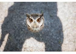 动物,Tanja Brandt,猫头鹰,鸟类,阴影,看着观众598702
