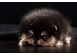 动物,哺乳动物,狗,波美拉尼亚455841