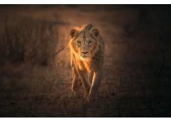 动物,哺乳动物,狮子,大猫590188
