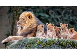 动物,哺乳动物,狮子,幼崽,小动物422394
