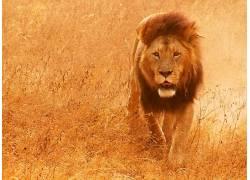 动物,哺乳动物,狮子396500