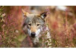 动物,哺乳动物,狼438404