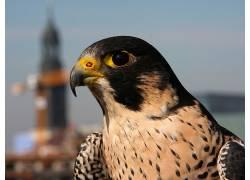 动物,游隼,猎鹰,特写,鸟类674850