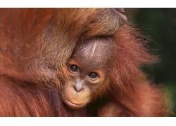 动物,哺乳动物,猩猩422406