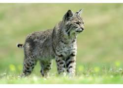 动物,哺乳动物,猫的,山猫452277