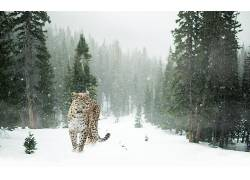 动物,哺乳动物,猫的,森林,松树,雪,豹455797