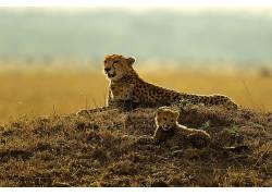 动物,哺乳动物,猫的,猎豹455792