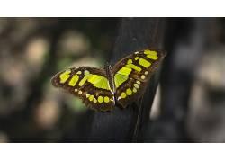 动物,昆虫,鳞翅类,宏376723