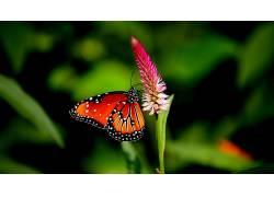 动物,昆虫,鳞翅类,宏448684