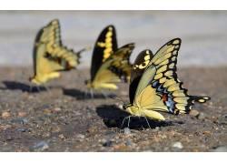 动物,昆虫,鳞翅类396498