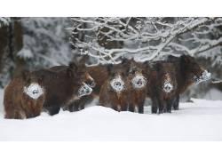 动物,冬季,雪,猪609434