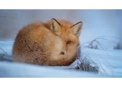 动物,冷,狐狸,冬季,雪479321