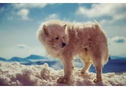 动物,北极狼,雪,特写599776