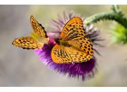 动物,昆虫,鳞翅类452162