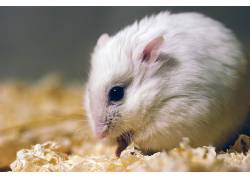 动物,哺乳动物,仓鼠448638