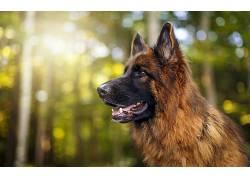 动物,森林,狗,德国牧羊犬630038