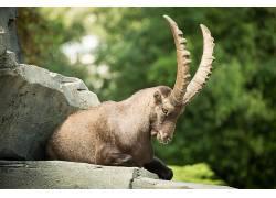 动物,哺乳动物,山羊448641