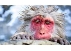 动物,毛皮,猴,性质409336