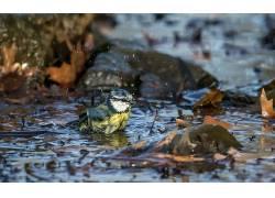 动物,水,性质,鸟类,欧亚蓝山雀,山雀500995