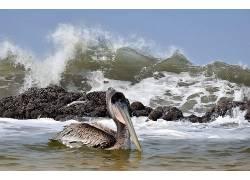 动物,海,波浪,鸟类,性质,Pellican553447
