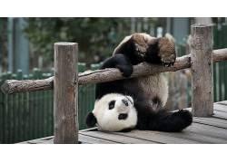 动物,熊猫,木,木表面,篱笆,树木,落下,上下翻转,幽默378228