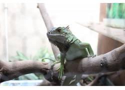 动物,爬行动物,木,特写,鬣蜥,宠物383447